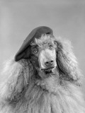 Poodle Dog Wearing a French Beret With Long Curly Hair