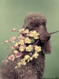 French Poodle Holding Flowers in Mouth