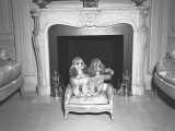 Two Miniature Poodle Sitting in Front of Fireplace