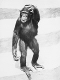 Chimpanzee Standing on Steps  Scratching Head
