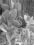 Prickly Pear Cactus in Garden