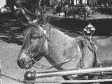 Mule Standing in Street