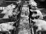 Pig Sty Gossip