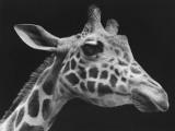 Giraffe's Head (B&W)
