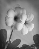 Plumeria I