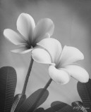 Plumeria II