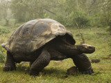 Galapagos Giant Tortoise With Tui De Roy Near Alcedo Volcano  Isabela Island  Galapagos Islands