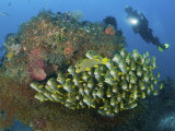 Diver and Schooling Sweetlip Fish Next To Reef  Raja Ampat  Papua  Indonesia