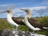 Blue-Footed Booby Courtship  Punta Cevallos  Espanola Or Hood Island  Galapagos Islands  Ecuador