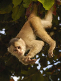 White-Fronted Capuchin Monkey Hanging From a Tree  Puerto Misahualli  Amazon Rain Forest  Ecuador