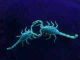 Two Scorpions Under Blacklight  Maverick County  Texas  USA