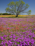 Spring Mesquite Trees Growing in Wildflowers  Texas  USA