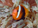 Anemonefish Among Poisonous Tentacles, Raja Ampat, Indonesia Papier Photo