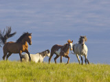 Wild Horses Running  Theodore Roosevelt National Park  North Dakota  USA