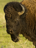 Bison Bull at the National Bison Range  Montana  USA