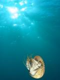 Chambered Nautilus Swimming Near Gnemelis Dropoff  Palau  Micronesia