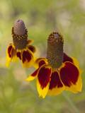 Prairie Coneflowers  Montana  USA