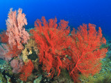 Brilliant Red Sea Fans  Komba Island  Flores Sea  Indonesia
