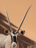 Close-Up of Oryx  Namib-Naukluft Park  Namibia  Africa