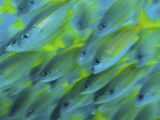 Abstract Close-Up of Snapper Fish  Raja Ampat  Papua  Indonesia