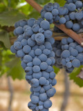 Close Up of Cabernet Sauvignon Grapes  Haras De Pirque Winery  Pirque  Maipo Valley  Chile