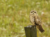 Short Eared Owl in Spring Snowfall at Nineopie Wma  Montana  USA