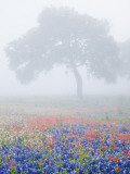 Field of Bluebonnets and Paintbrush on Foggy Morning  Texas  USA