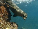 Galapagos Sealion  Gardner Bay  Española Island  Galapagos Islands  Ecuador