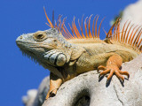 Close-Up of Male Iguana on Tree  Lighthouse Point  Florida  USA