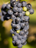 Marechal Foch Grapes at the Vineyard at Jewell Towne Vineyards  South Hampton  New Hampshire  USA