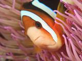 Anemonefish  Tukang Besi/Wakatobi Archipelago Marine Preserve  South Sulawesi  Indonesia