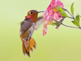Rufous Hummingbird Feeding in a Flower Garden  British Columbia  Canada