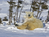 Polar Bear Cub Playing With a Watchful Mother  Wapusk National Park  Manitoba  Canada