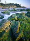 Seaweed on Rocks During Low Tide Near Cape Alava  Olympic National Park  Washington  USA