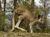 Eastern Grey Kangaroo at Queensland  Australia