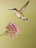 Ruby-Throated Hummingbird Feeding at Rocky Mountain Bee Plant Flower  South Texas  USA