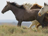 Wild Horses Running  Carbon County  Wyoming  USA