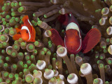 Two Clownfish Among Anemone Tentacles  Raja Ampat  Indonesia