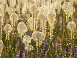 Beargrass and Lupine Backlit on the Slopes at Whitefish Mountain Resort  Whitefish  Montana  USA