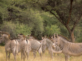 Herd of Grevy&#39;s Zebras  Shaba National Reserve  Kenya