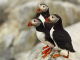 Atlantic Puffins on Machias Seal Island Off the Coast of Cutler  Maine  USA