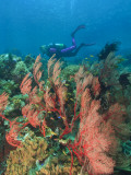 Scuba Diver and Sea Fans  Raja Ampat  Papua