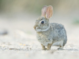 Desert Cottontail Rabbit  Rio Grande Valley  Texas  USA