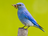 Mountain Bluebird With Caterpillars Near Kamloops  British Columbia  Canada