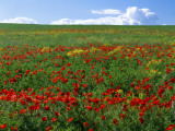 Naturalized Corn Poppies  Cache Valley  Utah  USA