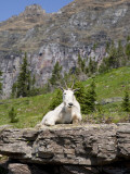 Mountain Goat on Rock  Logan Pass  Glacier National Park  Montana  USA