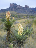 Spanish Dagger in Blossom Below Crown Mountain  Chihuahuan Desert  Big Bend National Park  Texas