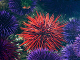 Tide Pool With Sea Urchins  Olympic Peninsula  Washington  USA