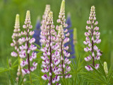 Field of Blooming Lupine Flowers and Bee  Acadia National Park  Maine  USA