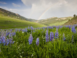 Lupines in Bloom and Rainbow After Rain  Bighorn Mountains  Wyoming  USA